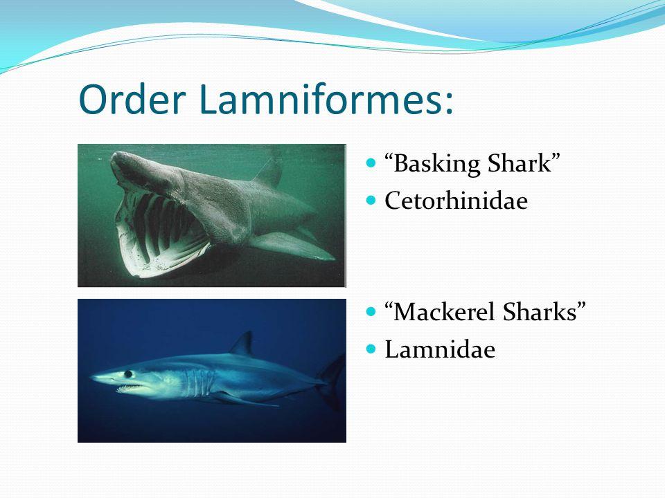 Order Lamniformes: Basking Shark Cetorhinidae Mackerel Sharks Lamnidae