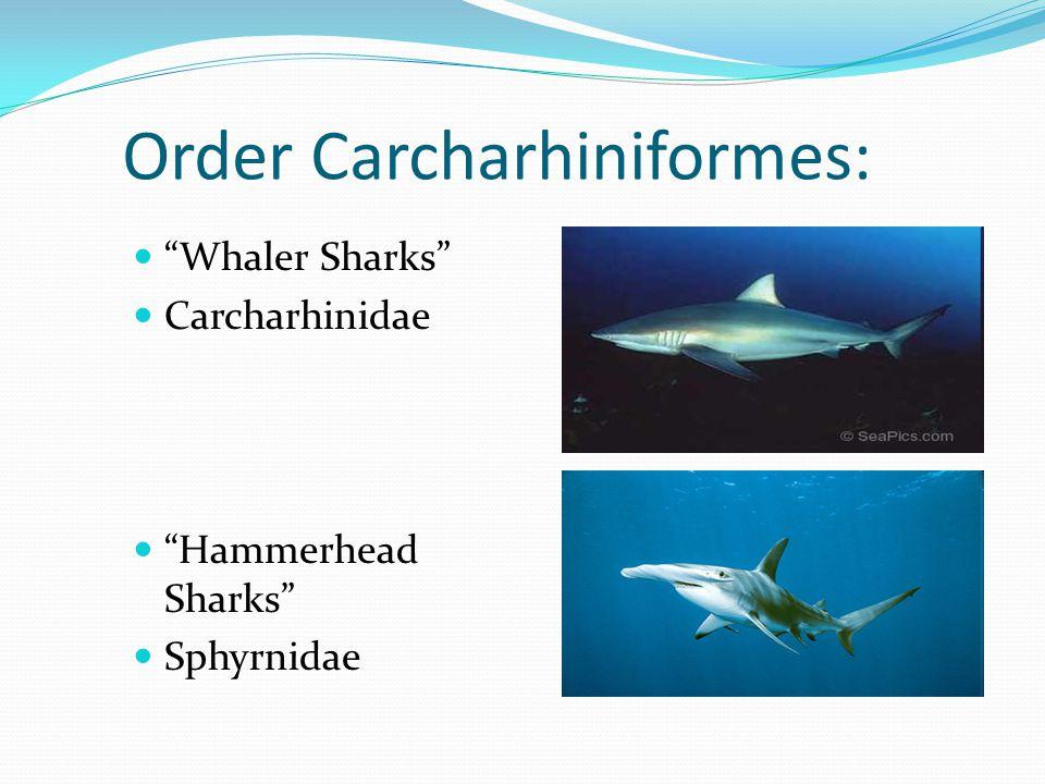 Order Carcharhiniformes: Whaler Sharks Carcharhinidae Hammerhead Sharks Sphyrnidae