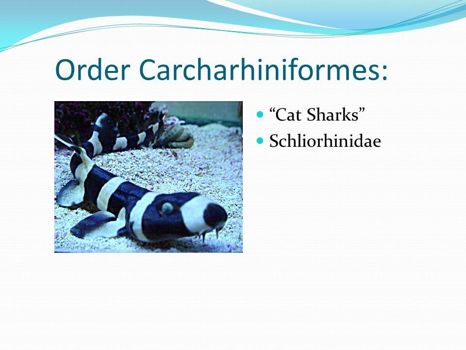 Order Carcharhiniformes: Cat Sharks Schliorhinidae
