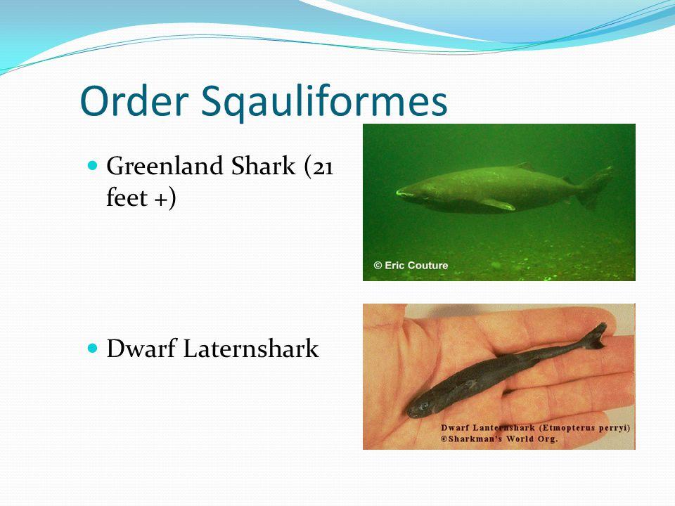 Order Sqauliformes Greenland Shark (21 feet +) Dwarf Laternshark
