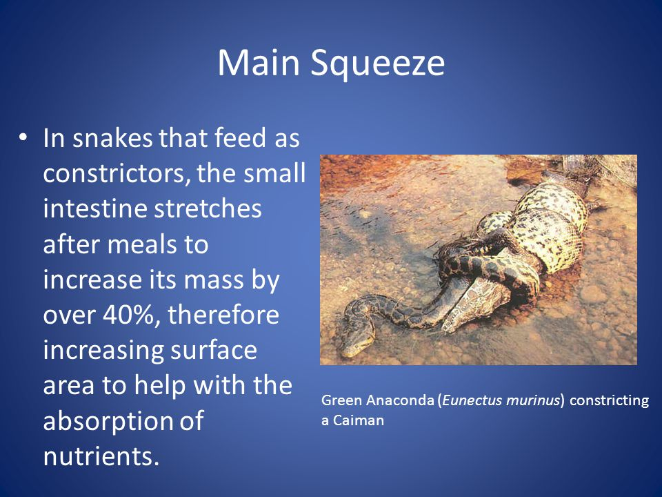 Main Squeeze In snakes that feed as constrictors, the small intestine stretches after meals to increase its mass by over 40%, therefore increasing surface area to help with the absorption of nutrients.
