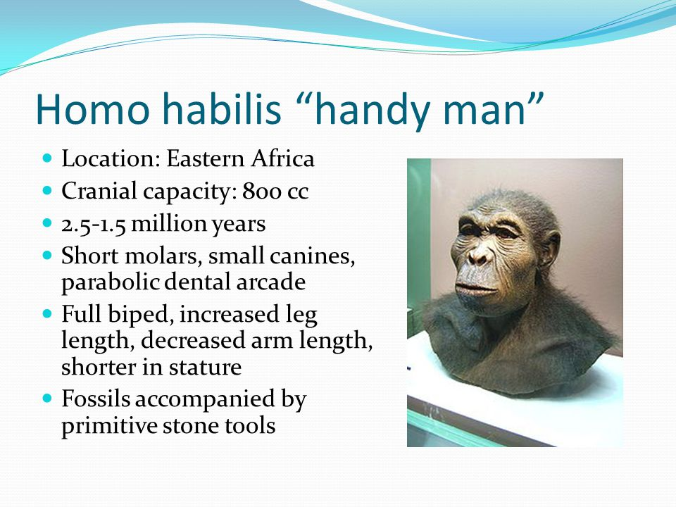 Homo habilis handy man Location: Eastern Africa Cranial capacity: 800 cc 2.5-1.5 million years Short molars, small canines, parabolic dental arcade Full biped, increased leg length, decreased arm length, shorter in stature Fossils accompanied by primitive stone tools