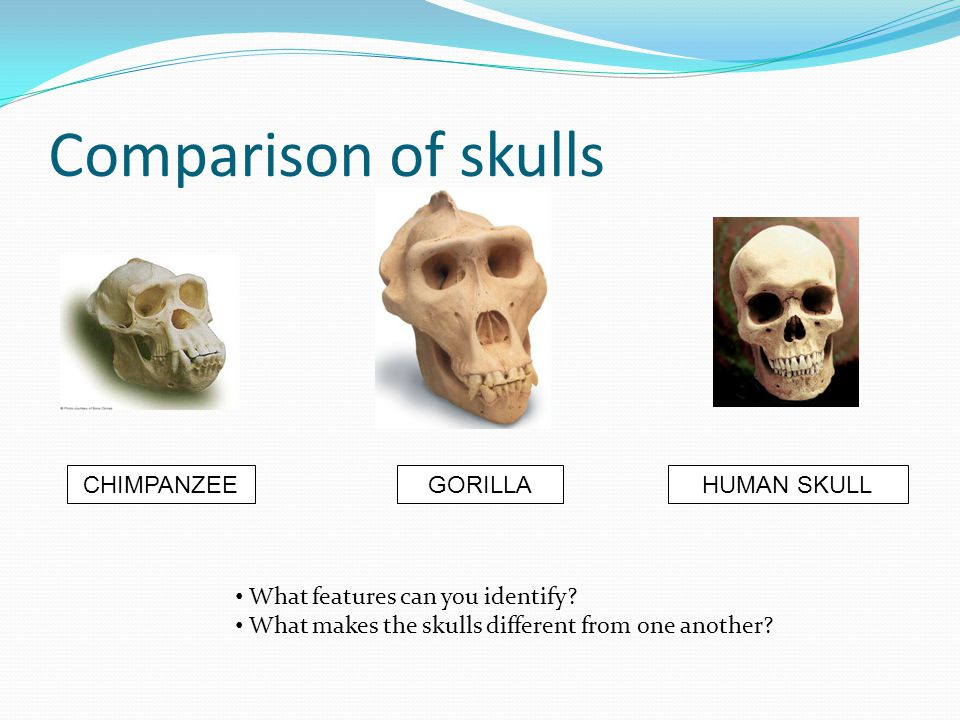 Comparison of skulls CHIMPANZEEGORILLAHUMAN SKULL What features can you identify? What makes the skulls different from one another?