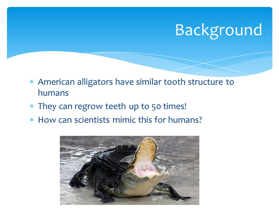American alligators have similar tooth structure to humans They can regrow teeth up to 50 times.