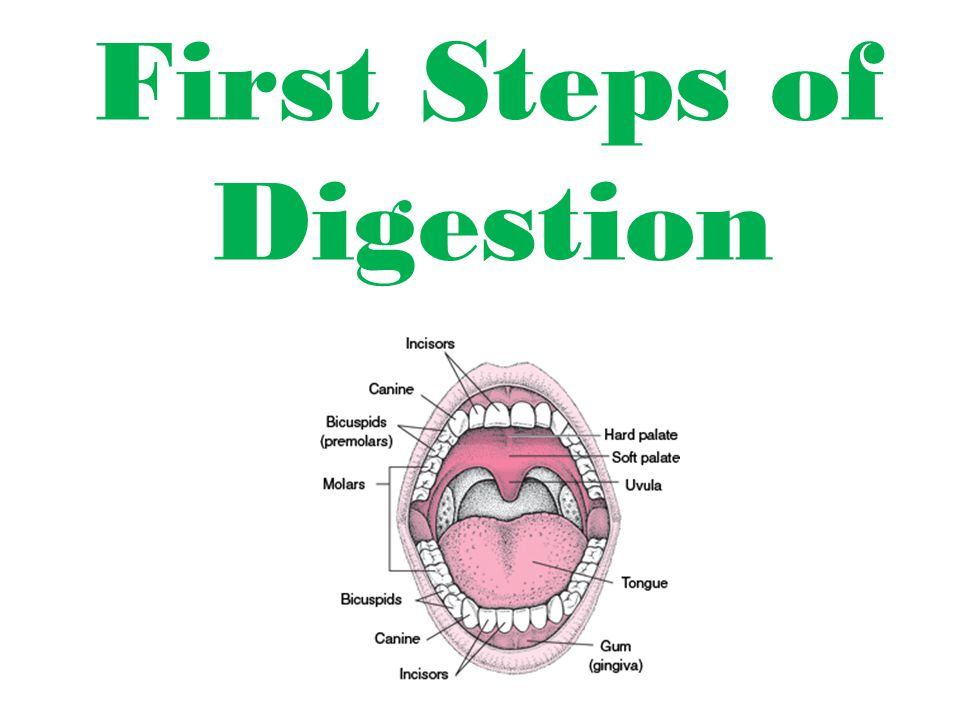 First Steps of Digestion