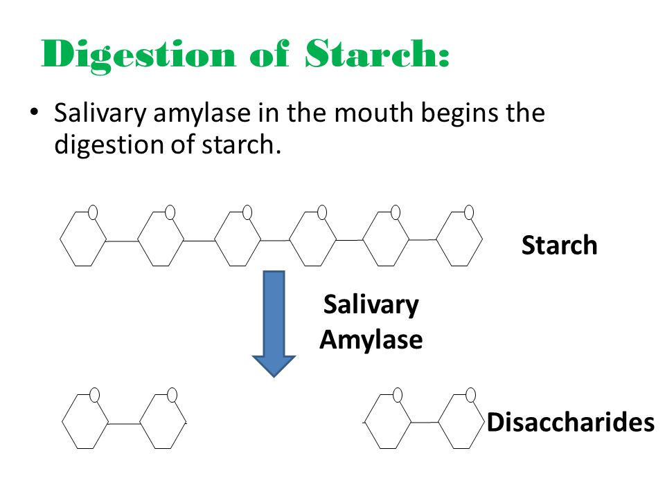 Digestion of Starch: Salivary amylase in the mouth begins the digestion of starch.