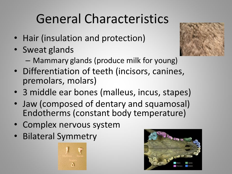 General Characteristics Hair (insulation and protection) Sweat glands – Mammary glands (produce milk for young) Differentiation of teeth (incisors, ca