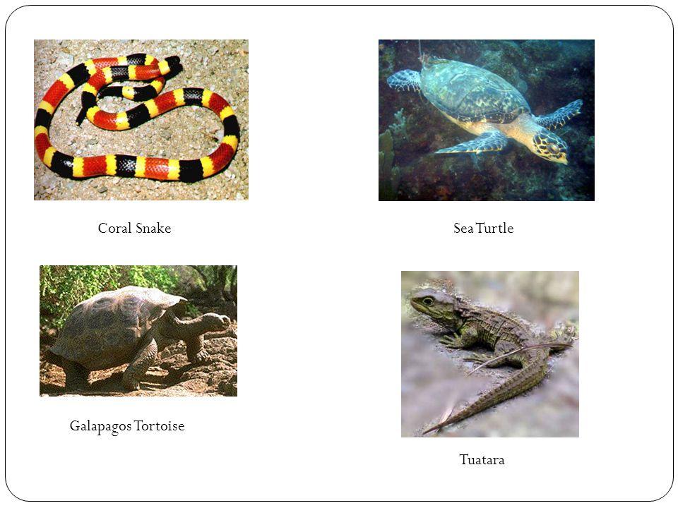 Coral SnakeSea Turtle Galapagos Tortoise Tuatara