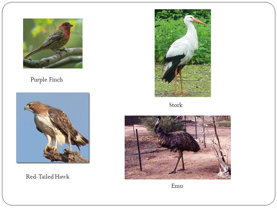 Purple Finch Red-Tailed Hawk Stork Emu