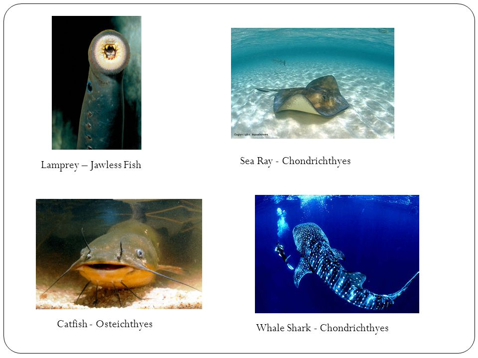 Lamprey – Jawless Fish Catfish - Osteichthyes Sea Ray - Chondrichthyes Whale Shark - Chondrichthyes
