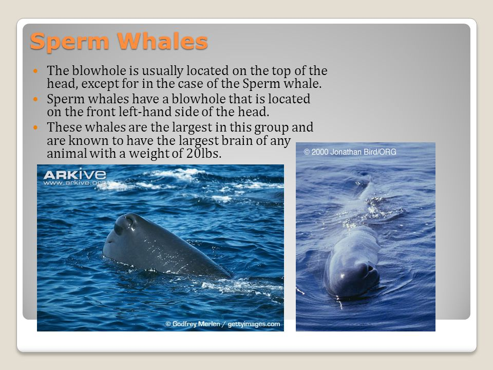 Sperm Whales The blowhole is usually located on the top of the head, except for in the case of the Sperm whale.