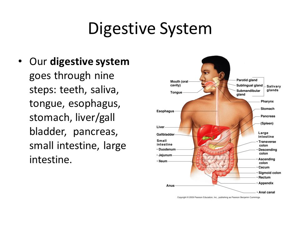 Digestive System Our digestive system goes through nine steps: teeth, saliva, tongue, esophagus, stomach, liver/gall bladder, pancreas, small intestine, large intestine.