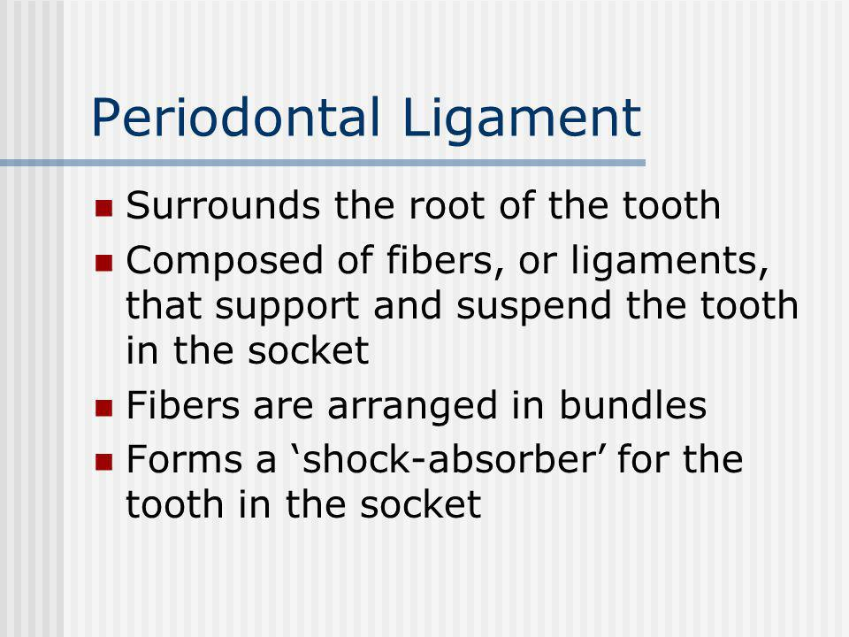 Periodontal Ligament Surrounds the root of the tooth Composed of fibers, or ligaments, that support and suspend the tooth in the socket Fibers are arr