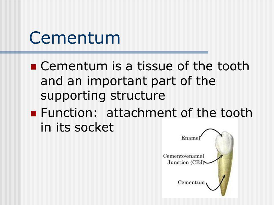 Cementum Cementum is a tissue of the tooth and an important part of the supporting structure Function: attachment of the tooth in its socket