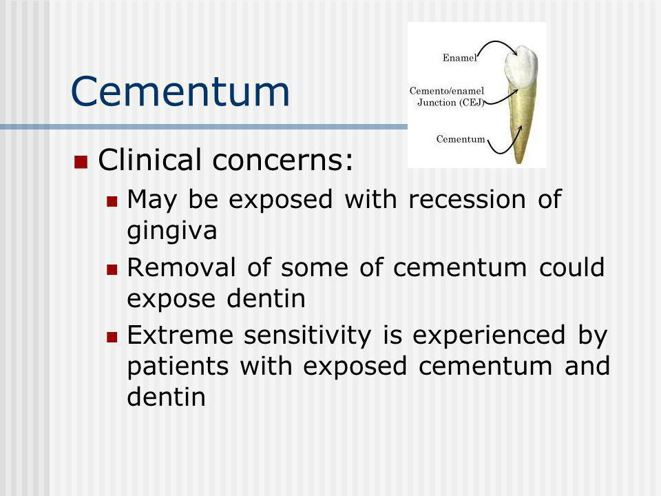 Cementum Clinical concerns: May be exposed with recession of gingiva Removal of some of cementum could expose dentin Extreme sensitivity is experience