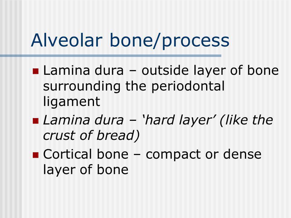Alveolar bone/process Lamina dura – outside layer of bone surrounding the periodontal ligament Lamina dura – hard layer (like the crust of bread) Cortical bone – compact or dense layer of bone