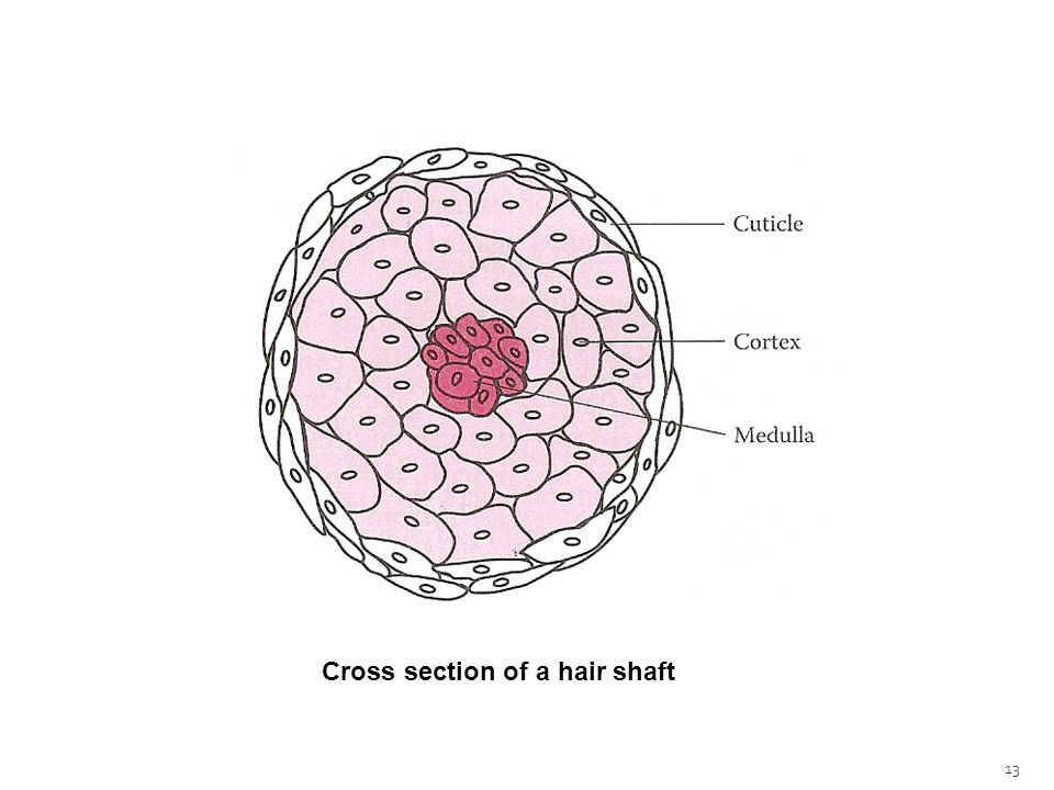 13 Cross section of a hair shaft