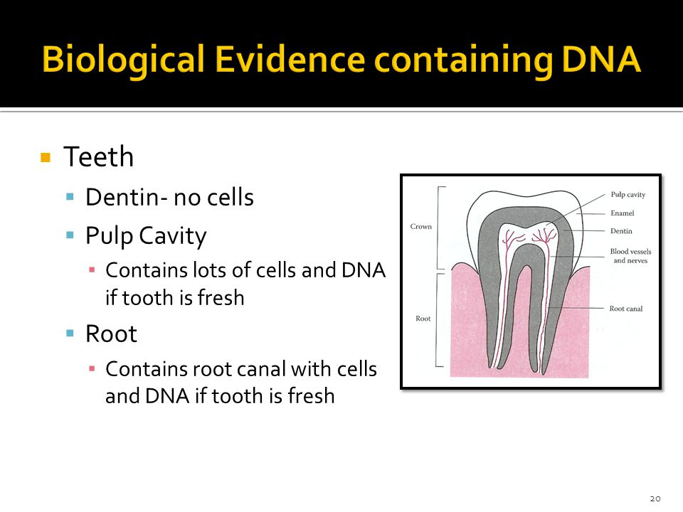 Teeth Dentin- no cells Pulp Cavity Contains lots of cells and DNA if tooth is fresh Root Contains root canal with cells and DNA if tooth is fresh 20