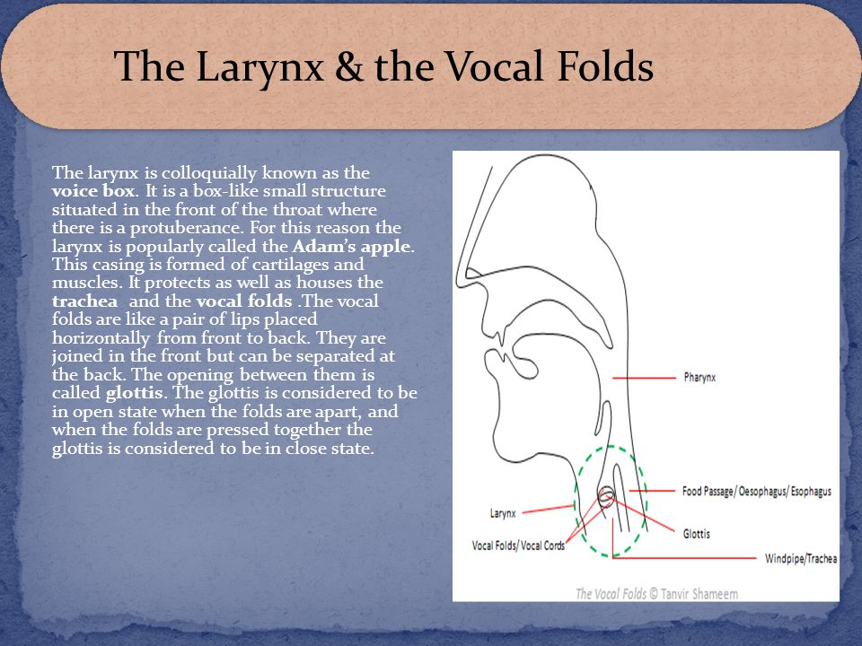 The larynx is colloquially known as the voice box. It is a box-like small structure situated in the front of the throat where there is a protuberance.