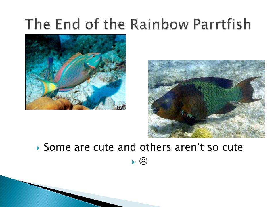The Rainbow Parrotfish (Scarus Guacamaia) male can grow up to a length of 1.2 meters, that makes it the largest herbivorous fish in the Atlantic Ocean.