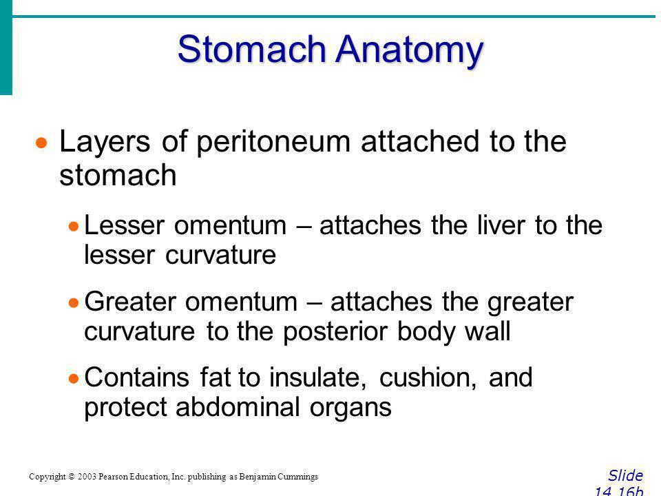 Stomach Anatomy Slide 14.16b Copyright © 2003 Pearson Education, Inc. publishing as Benjamin Cummings Layers of peritoneum attached to the stomach Les