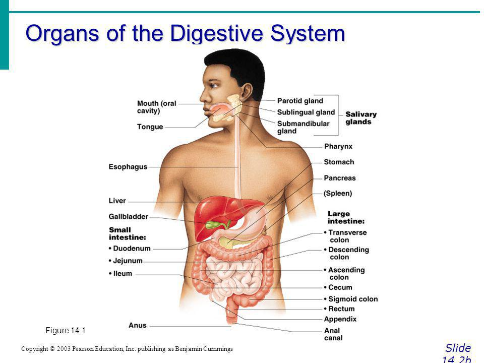 Organs of the Digestive System Slide 14.2b Copyright © 2003 Pearson Education, Inc. publishing as Benjamin Cummings Figure 14.1