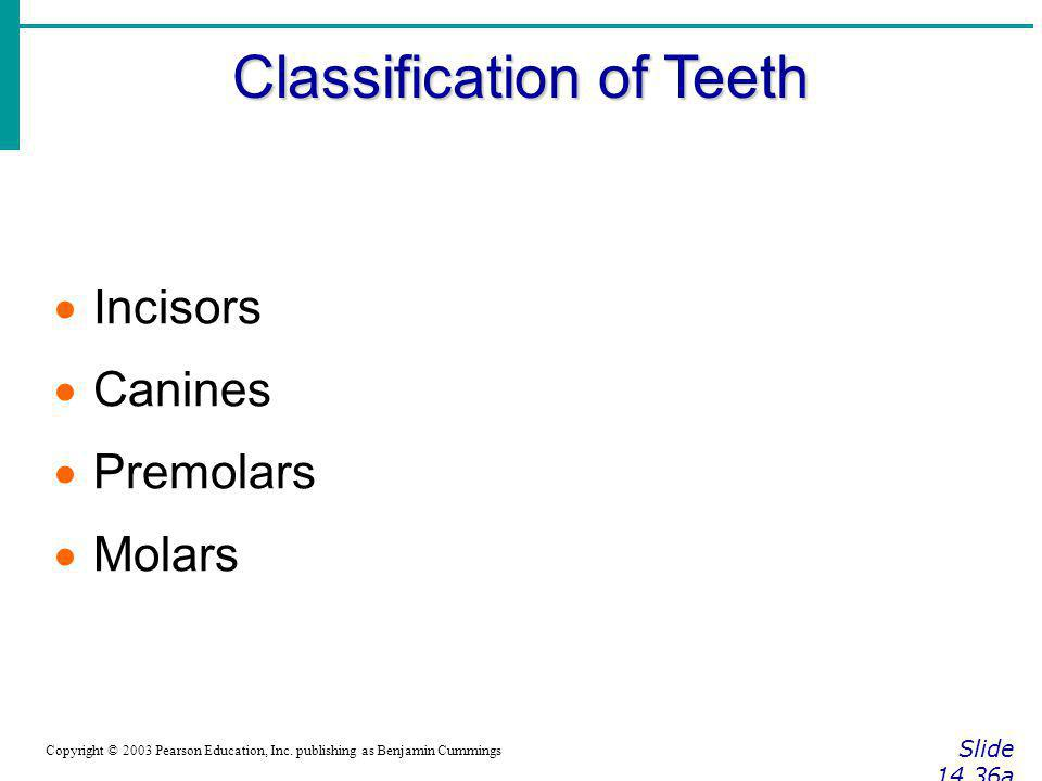 Classification of Teeth Slide 14.36a Copyright © 2003 Pearson Education, Inc. publishing as Benjamin Cummings Incisors Canines Premolars Molars