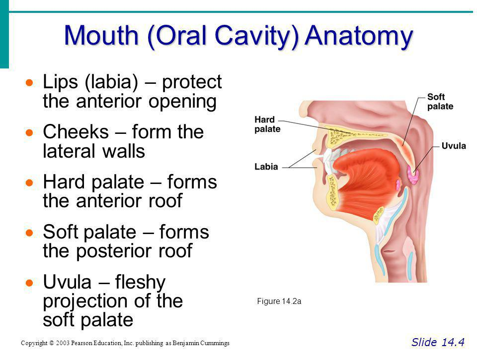 Mouth (Oral Cavity) Anatomy Slide 14.4 Copyright © 2003 Pearson Education, Inc. publishing as Benjamin Cummings Lips (labia) – protect the anterior op