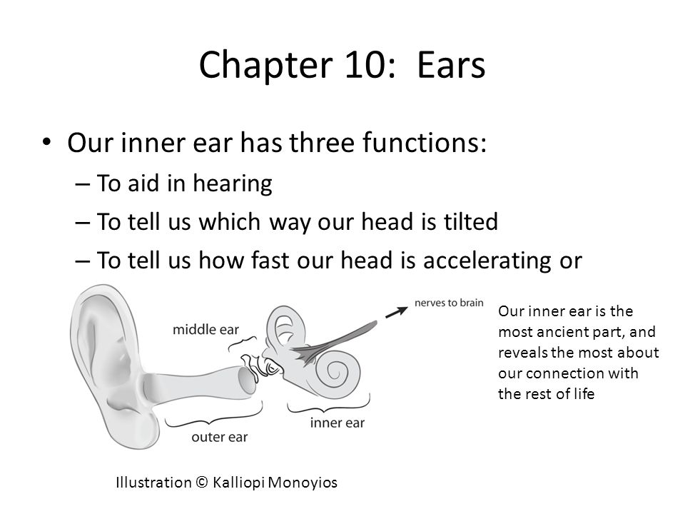 Chapter 10: Ears Our inner ear has three functions: – To aid in hearing – To tell us which way our head is tilted – To tell us how fast our head is accelerating or stopping Our inner ear is the most ancient part, and reveals the most about our connection with the rest of life Illustration © Kalliopi Monoyios