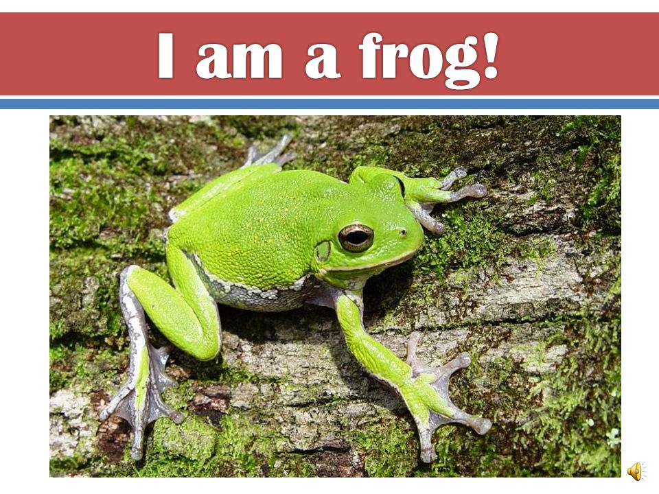 I am an amphibian. I have smooth, wet skin. I lay jelly eggs in a pond.