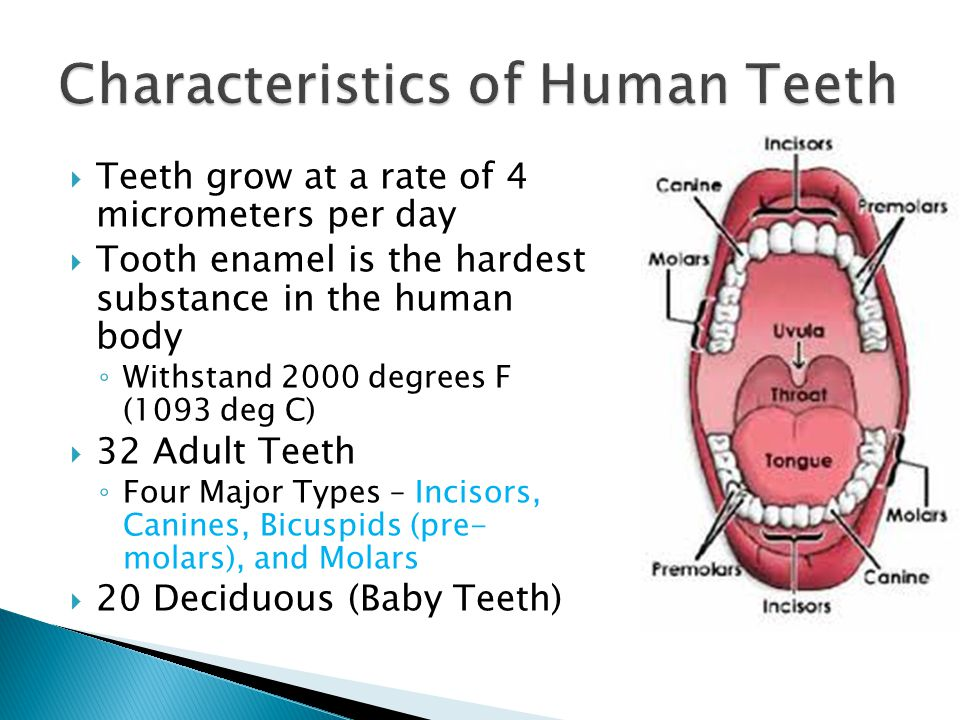 Teeth grow at a rate of 4 micrometers per day Tooth enamel is the hardest substance in the human body Withstand 2000 degrees F (1093 deg C) 32 Adult T