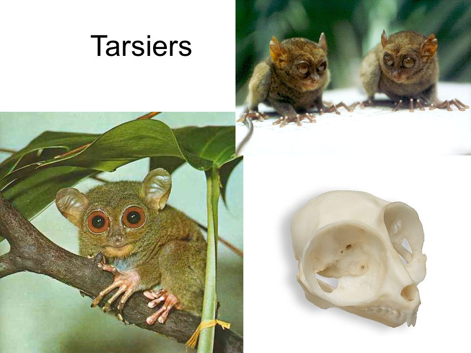 Anthropoids Types Humans Apes Monkeys Traits Rounded braincase Non-mobile outer ears Small flat faces without muzzles Highly developed placenta Dextrous hands Grouping Platyrrhines – New world monkeys (Central & South Americas) Catarrhines – Old world monkeys (Africa, Asia, & Europe)