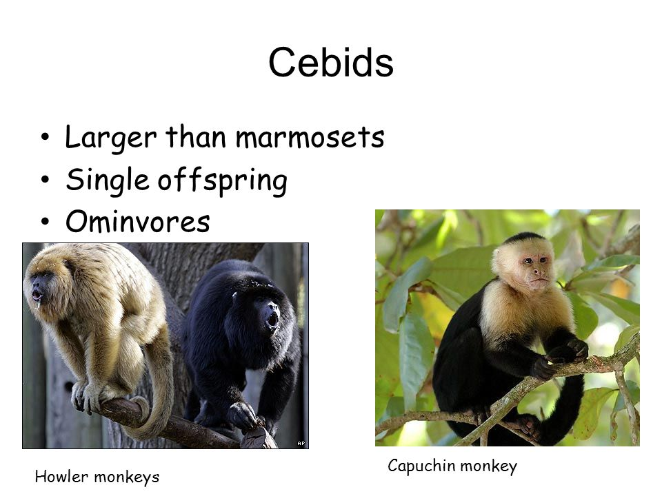 Cebids New world monkeys Preyed on by ocelots and jaguars Communicate by urinating on themselves and rubbing a tree Thumbs that cannot grip against the fingers