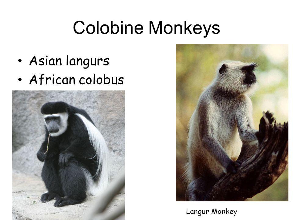 Colobus