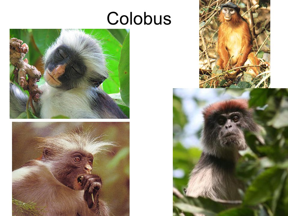 Colobine Monkeys Arboreal Herbivorous – leaves & seeds Mothers allow other group members to care for their infants shortly after birth Males not in group will kill infants