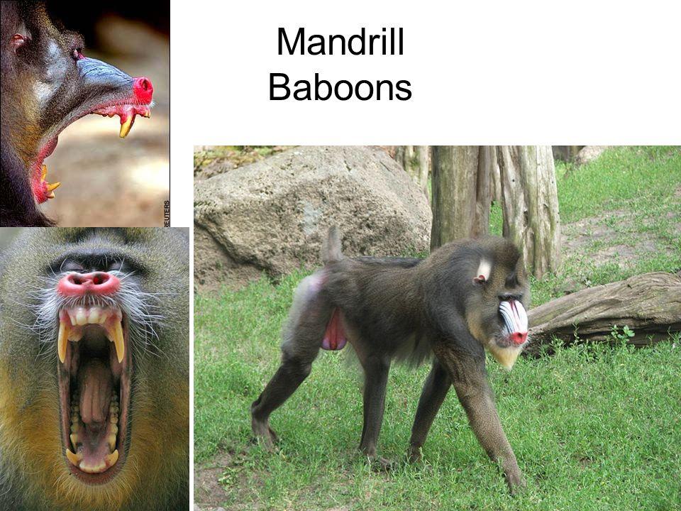 Japanese & Rhesus Macaques