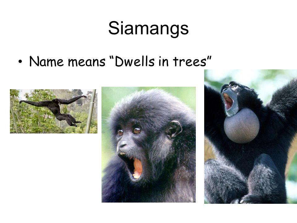 Pongids Orangutans Gorillas Chimpanzees