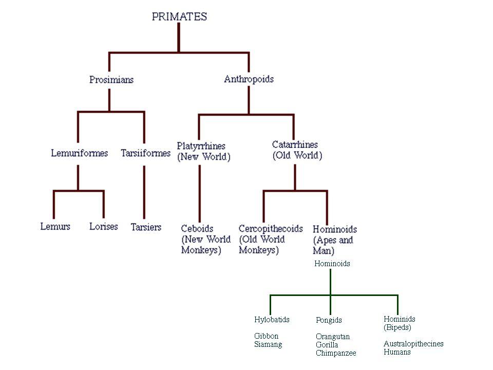 Primate Phylogeny