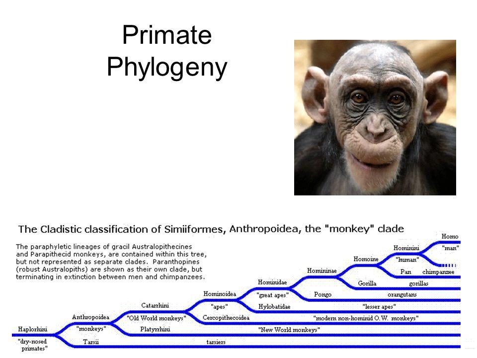 Primate Classification Prosimians – premonkeys Lemurs Lorises Tarsiers Anthropoids New world monkeys (Platyrrhines) Old world monkeys (Catarrhines) Lesser apes (Gibbons & Siamangs) Great apes (Orangutans, gorillas, & Chimpanzees Humans
