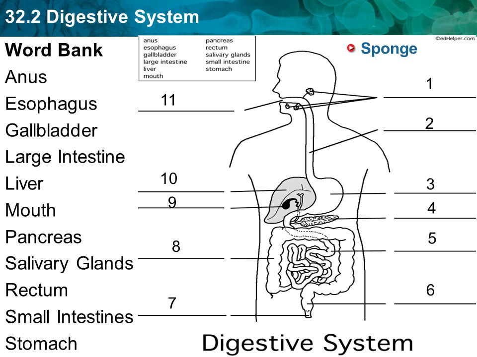 32.2 Digestive System Stomach Muscular sac Holds up to 2 quarts of food Continues digestion –Proteins are digested in the stomach Chyme: semi-liquid mixture of food 2-6 hours to digest food