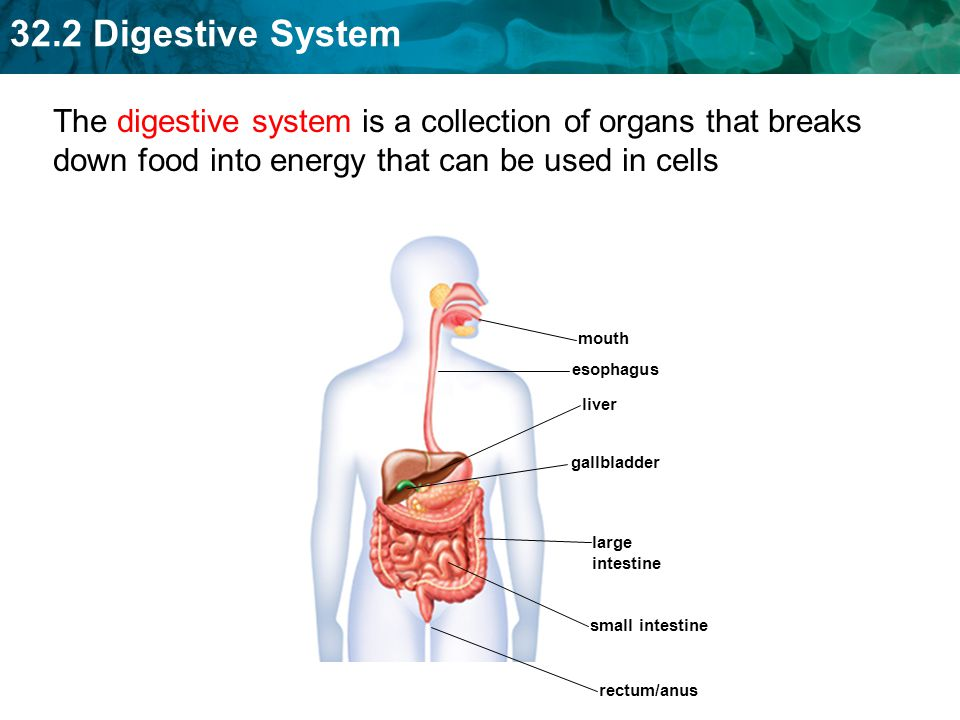 32.2 Digestive System What is the main function of the digestive system.