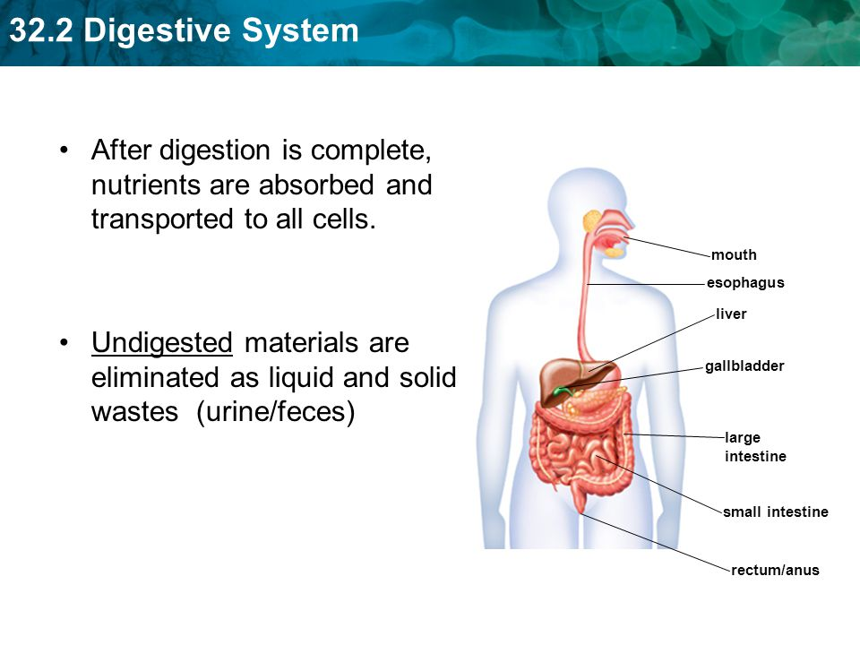 32.2 Digestive System Digestion of carbohydrates begins in the mouth.