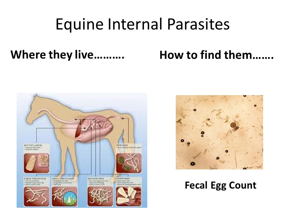 Equine Internal Parasites Where they live………. How to find them……. Fecal Egg Count