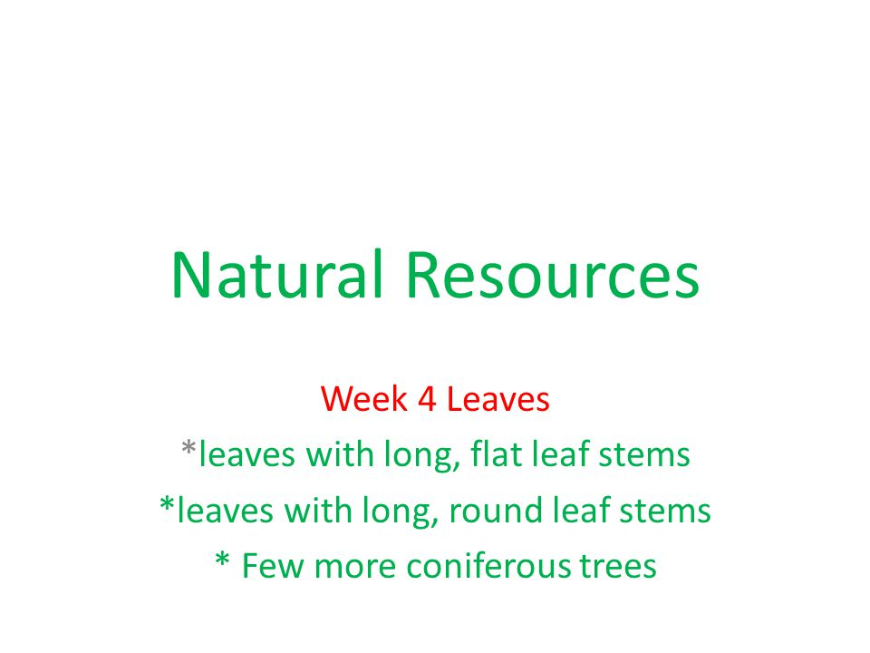Natural Resources Week 4 Leaves *leaves with long, flat leaf stems *leaves with long, round leaf stems * Few more coniferous trees