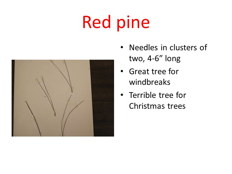 Red pine Needles in clusters of two, 4-6 long Great tree for windbreaks Terrible tree for Christmas trees