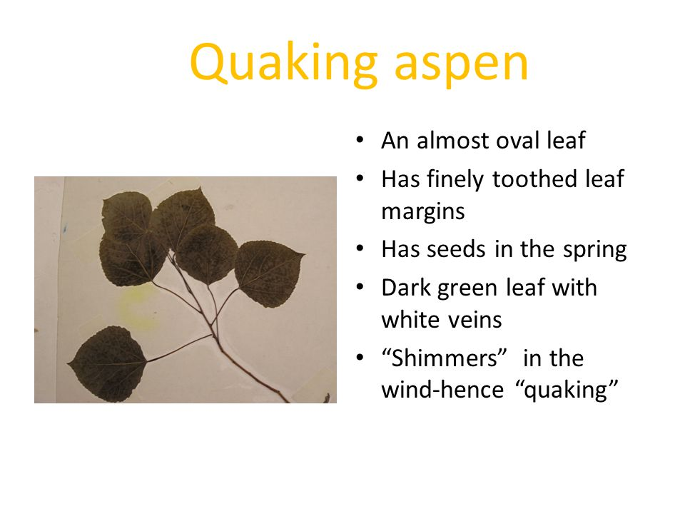Quaking aspen An almost oval leaf Has finely toothed leaf margins Has seeds in the spring Dark green leaf with white veins Shimmers in the wind-hence quaking