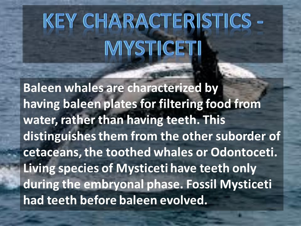 Baleen whales are characterized by having baleen plates for filtering food from water, rather than having teeth. This distinguishes them from the othe