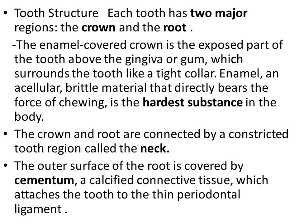 Tooth Structure Each tooth has two major regions: the crown and the root. -The enamel-covered crown is the exposed part of the tooth above the gingiva