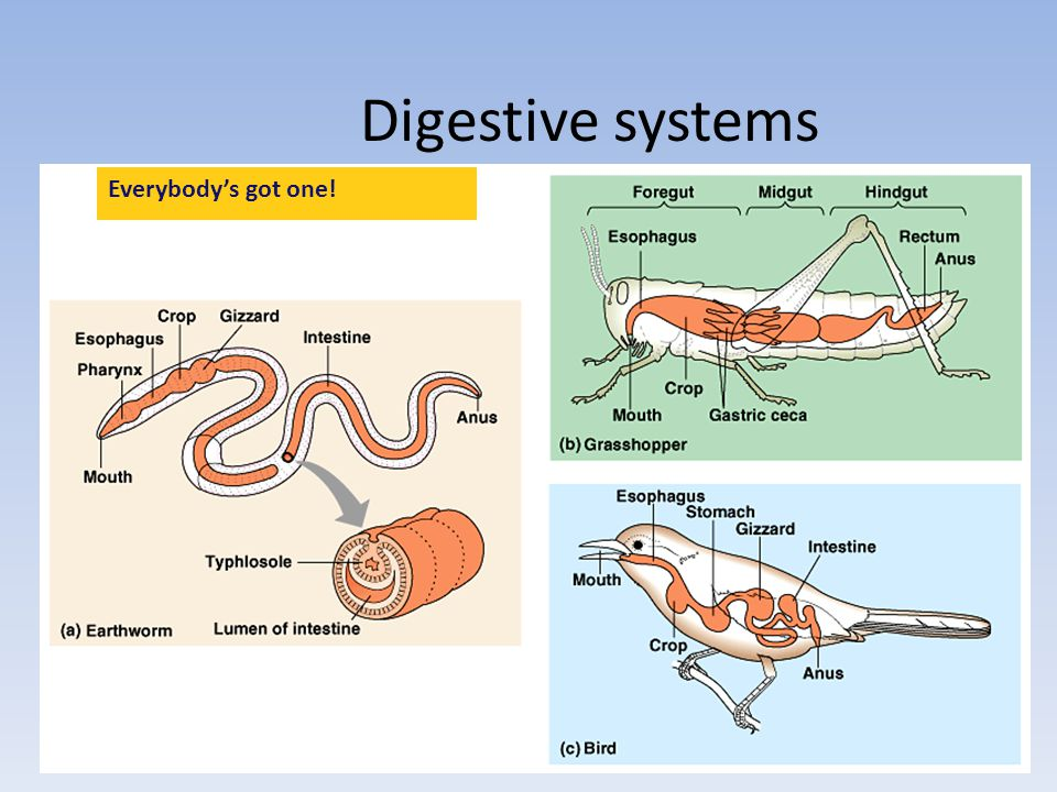 Digestive System Function: break down large molecules into smaller, absorbable molecules *monomers and hydrolysis* Tubular gut, two openings- one at e