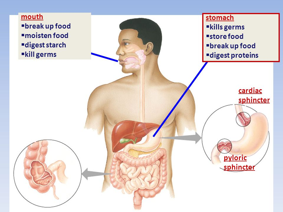 –Stomach pH is around 1 –Can cause ulcers –Chyme- partly digested food, acid and enzymes –Smooth muscle pushed chyme into the small intestines through
